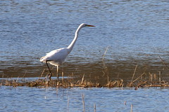 Great White Egret (Dave G8HPV) Tags: greatwhiteegret brandonmarsh warwickshire