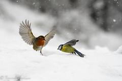 fighting in the storm (barragan1941) Tags: aves avesenvuelo carbonero cremenes2018 fauna nieve pajaros petirrojo