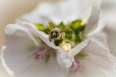 worker (scott a p) Tags: flower macro pollen bee insect