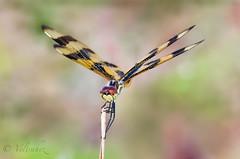 They come back..!! (veltrahez) Tags: miami florida unitedstates us ngc macro zuiko em1 olympus dragonfly