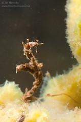 Non-biting midge larvae (Chironomidae, Rheotanytarsus) (Jan Hamrsky) Tags: invertebrates freshwaterinvertebrates insects aquaticinsects waterinsects macrophotography nonbitingmidges midge larva larvae midgelarvae larvalcase diptera chironomidae rheotanytarsus