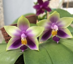 Phalaenopsis bellina 'Schiffer' (F.Setembrino) Tags: bellina orquídea orchid phalaenopsis