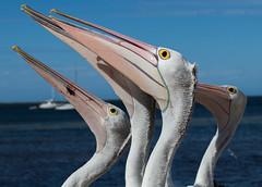 The pelican brief (dmunro100) Tags: pelican feedingtime kangarooisland comical southaustralia spring