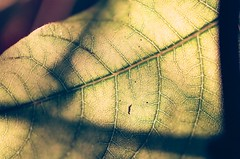leaf anatomy (DT278 Photography) Tags: leaf anatomy green macro minoltacolors fujifilm fujicolor minolta minolta7xi sunset golden goldenhour nature