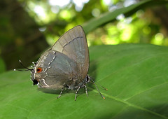 Unidentified hairstreak Gargina sp? (Camerar 4 million views!) Tags: butterfly lycaenidae peru untagged butterflies insect gargina