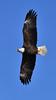 Soaring American Bald Eagle (MJMPhoto II) Tags: eagle americanbaldeagle bluesky mississippi river iowa bettendorf quadcity davenport nikon d850 nikon200500mm