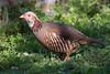 Adult Barbary Partridge (Josh13770) Tags: alectorisbarbara barbarypartridge bird perdiz moruna gibraltar nikor nikkor coth5