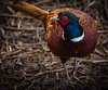 Pheasant (Phasianus colchicus) (neil 36) Tags: pheasant phasianus colchicus nature reserve located don gorge location boat inn doncaster south yorkshire dn5 7nb map reference se 534 006 nikon d7200 nikor200500mm southyorkshire england