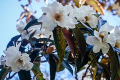 Magnolias (San Francisco Gal) Tags: filoli nationaltrustforhistoricpreservation woodside ca flower fleur bloom blossom bud leaf magnolia