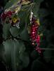 jdy244XX20170901a6722Bias-2 stops.jpg (rachelgreenbelt) Tags: monocots usa greenbelt northamerica midatlanticregion orderasparagales ghigreenbelthomesinc maryland familyasparagaceae maianthemum maianthemumall americas ouryard magnoliophyta asparagaceae asparagaceaefamily asparagales floweringplants irides monocotyledons oneplant singleplantportrait smilacina spermatophytes