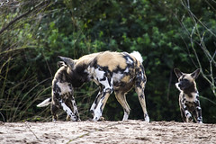African Painted Dogs 16.02 (4) (R.J.Boyd) Tags: african painted dog chester zoo mammal africa animal furry canine predator