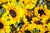 Sunflowers - Dreaming of Summer (Michael Guttman) Tags: sunflowers yellow flowers plants farmersmarket eugene oregon nikon d90 sliderssunday hss