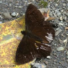 Pedaliodes pheres (LPJC) Tags: butterfly manuroad manu peru 2016 lpjc pedaliodespheres