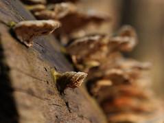 PGH58413 (klangcharakter) Tags: pilz baumpilz natur wald spinnenwebenfaden faden panasonic gh5 mft lumix 1260mm f2840 leica iso200 1100sek f56 wildsachsen hofheim taunus hessen