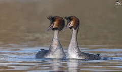 Great Crested Grebe (Mick Erwin) Tags: great crested grebe nikon afs 600mm f4e fl ed vr lens tc14e teleconverter iii d850 mick erwin stoke trent staffordshire wildlife nature