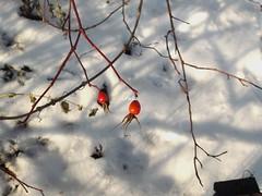 Colours of the winter (ruta / рута) Tags: winter snow grapevine rosehip berry urbannature