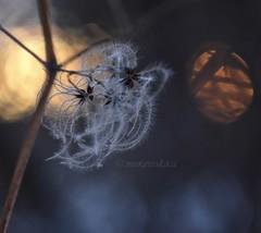 Ferbuary clematis. (agnieszka.a.morawska) Tags: oldlens manualfocus manuallens dof helios winter helios44m beyondbokeh bkhq bokehlicious bokeh sunset sun clematis
