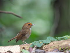 Rufous-browed Flycatcher (ChongBT) Tags: nature natural animal avian bird wildlife wild life malaysia genting highland anthipes solitaris rufous browed flycatcher ornithology