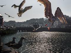 Saint Valéry en Caux (B.2Lange) Tags: saintvaléryencaux normandie france côte dalbâtre goeland mouette goéland gull seagull kelpgull gaivota gabbiano