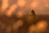 'Kestrel Sunset' (benstaceyphotography) Tags: kestrel birdofprey raptor perched sunset bokeh winter nikon wildlife nature marshes d800e 500mmf4 bird birdphotography dusk