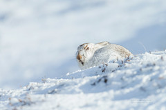 Mountain Hare (Louise Morris (looloobey)) Tags: aq7i7878 mountainhare hare snow slope walk neil andy highlands february2018 heather mammal