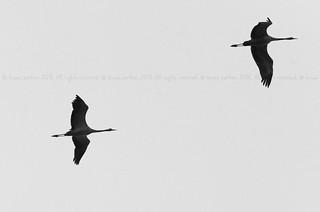 Common Crane, Grue cendrée (Grus grus), Aubel (BELGIUM)