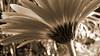 Daisy, Impression 3 (Sepia) (dMaculate) Tags: abstract flowers impressions green daisies arlington ma unitedstatesofamerica usa sepia impressionism monochrome flower flora