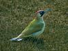 Groene specht (Jan 1147) Tags: groenespecht green belgium picusviridis europeangreenwoodpecker vogel vogels birds dier dieren animal animals groen gras depinte
