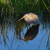 Tri Colored Heron at Green Cay (picturedmike) Tags: sunset heron green cay wetlands bird reflection