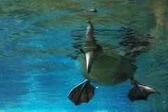Check! (marfis75) Tags: wasser marfis75 tölpel schwimmen unterwasser underwater check schaut gucken tief under unten