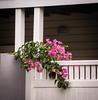 Colour and textures (idunbarreid) Tags: bougainvillea fence