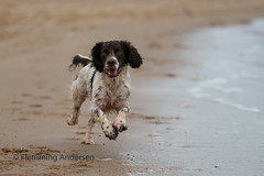 2/52 Running in the sand (Flemming Andersen) Tags: zigzag spaniel sand pet nature water dog outdoor hund 52weeksfordogs cocker animal