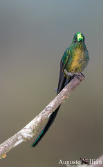 _DSC6538.jpg (Augusto Ilian G) Tags: alejandria colibries pajaros