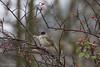 Sylvia atricapilla ♂ (Ferruxe65) Tags: aves birds canoneos7d cotobade tamron150600 paxaros papuxadasamoras sylviaatricapilla blackcap currucacapirotada nature naturaleza pájaros