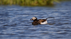 Long-tailed Duck on an Arctic Pond (Explored 1/18/18) (Cameron Darnell) Tags: longtailed duck clangula nature wildlife bird avian cameron 2017 tamron canon summer june nome alaska oldsquaw photography pond water tundra