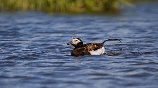 Long-tailed Duck on an Arctic Pond (Explored 1/18/18)