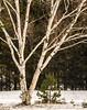 Paper Birch . . . (Dr. Farnsworth) Tags: tree paperbirch bark white pink pointoneida glenarbor glen arbor mi michigan winter january2018