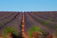 le plateau de valensole (sami 51) Tags: champ lavande valensole mauve fleurs flowers alpesdehauteprovence provence sud south france french nikon