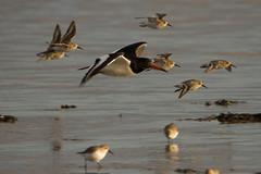 Oystercatcher and dunlin in flight (jon lees) Tags: strangfordlough newtownards coastal countydown northernireland assi sac spa bird flight flying