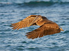 brown pelican in flight (brian eagar - very busy - not much time to comment) Tags: wing animal nature wildlife outdoor outside january 2018 cabopulmo mexico california wild sun vacation getaway bird pelican m2em1 mii300mmolympus 300mm f4 ocean sea wave water brownpelican flight flying