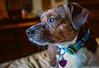 Window Watcher (Robert Streithorst) Tags: beagle dog robertstreithorst tater