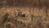Short Eared Owl (Cal Killikelly) Tags: short eared owl