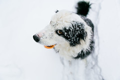 Side Eye Snow (Anda74) Tags: ouzo bordercollie canonef2470mmf28lusm wideangle fromabove snow winter colorado