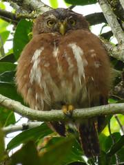 Glaucidium brasilianum (Luis G. Restrepo) Tags: strigidae p2710936001 buhítoferrugíneo ferruginouspygmyowl glaucidiumbrasilianum bird birdwatching ave villagarzón putumayo eno2017 colombia southamerica búho owl