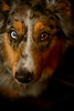 Curious Cavalry (flashfix) Tags: february152018 2018inphotos ottawa ontario canada nikond7100 40mm nikon flashfix flashfixphotography portrait warm naturallighting dog canine animal pet austrailanshepherd triaustrailanshepherd bluemerle tricolour sock heterochromia
