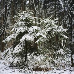 Peacefull Sisters (shetanchan) Tags: 50mmzuiko 50mm forestbeauty wald winterwald zuiko50mm18 zuiko50mmf18 forest analog analoglens sonya6000 winter forestlove forestview snow tree trees firtrees fir