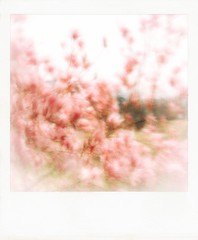 Windy magnolias. (jeanne.marie.) Tags: iphone7plus iphoneography abstract pink magnolia wind windy blur spring