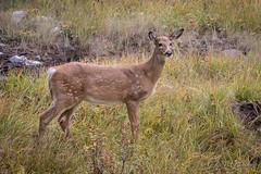White-tailed Deer (Turk Images) Tags: borealforest eastslope jaspernationalpark odocoileusvirginianus rockymountains whitetaileddeer alberta cervidae mammals fall