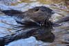 coypu (explored) (bauingenieuse) Tags: nutria biberratte coypu naturschutzgebiet mönchbruch mörfelden hessen rheinmain rat nagetier animal wasser teich see holz nager wasserbewohner 2018 schilf outdoor sumpfbiber myocastor coypus zähne orange schnurrhaare schwimmen ngc canon 80d closeup whiskers beaver rodent lake landschaft natur explored