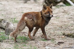 Renard roux (Passion Animaux & Photos) Tags: renard roux red fox vulpesvulpes parc animalier saintecroix france